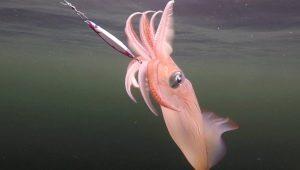 Как ловят кальмаров?