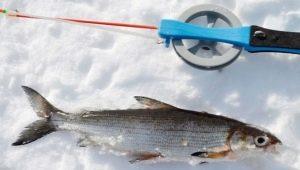 Особенности ловли сига зимой