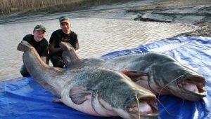 Самые большие пойманные сомы