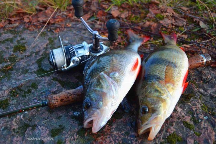Как ловить окуня на поплавочную удочку и собрать оснастку